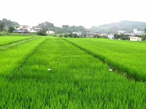 Experimental rice planting